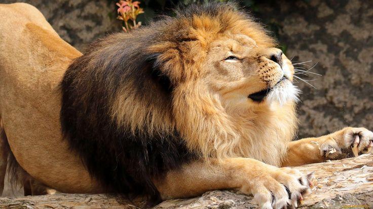 животные, львы, лев, царь, зверей, грива, потягушки