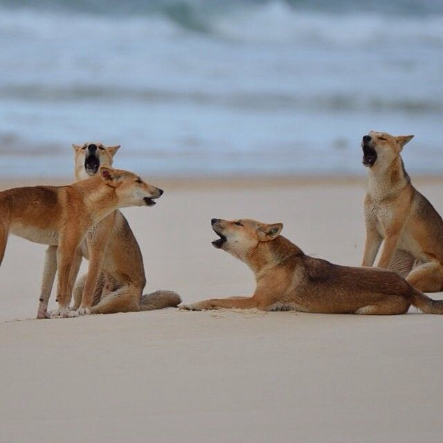 """The Fraser Island Barber Shop boys are warming up with a rendition of """"Uptown Dingoes"""". Photo by @brockdharris #visitfrasercoast"""