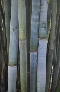 TROPICAL BLUE BAMBOO 3G - BAMBUSA CHUNGII | Bamboo for Sale