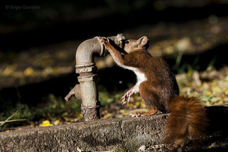 Esquilo-vermelho / Eurasian red squirrel / ( Sciurus vulgaris)