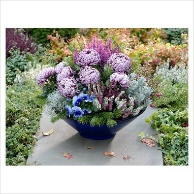 Arrangement of Chrysanthemum grandiflorum 'Malabar', Calluna Twin Girls 'Alicia' and C. 'Athene', Viola wittrockiana, Helichrysum, Erica gracilis 'Christine', Calocephalus and Abies foliage in blue pot