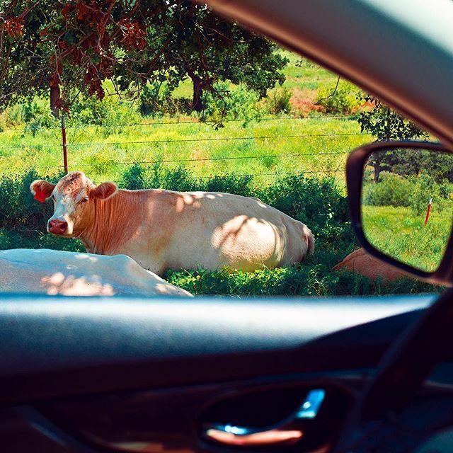 Roadside pets in Texas! 🐮 #frankiesroadtrip