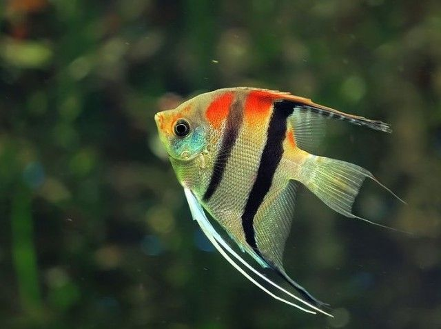The Best And Most Beautiful Angelfish Tank Mates That Make Your Aquarium 20 30 55 Gallon Wonderful Sure Angel Fish Tropical Freshwater Fish Aquarium Fish