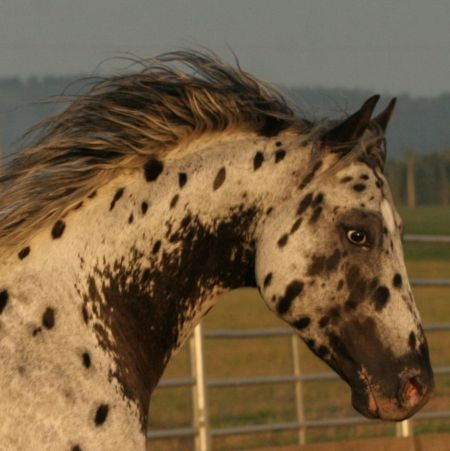In His Vivid Quest, Appaloosa Stallion in Oregon | Appaloosa Horses for Sale