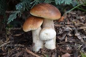 Znalezione obrazy dla zapytania grzyby jadalne