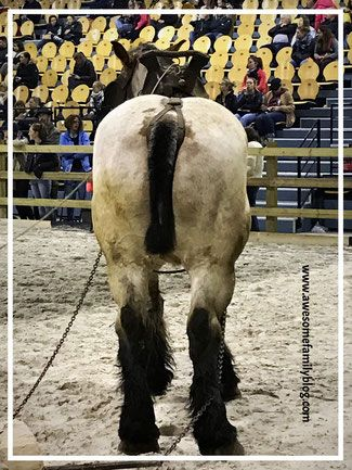 #Marche #Wallonie #wallonieequesreevent #western #horses #horseshow #europe #Belgique #Belgium #equestre #draft #drafthorses #chevaux #chevauxtraits