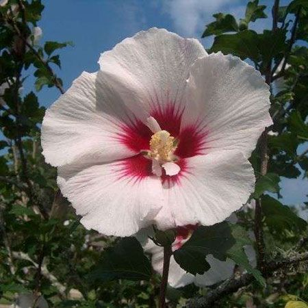 25 best hibiscus images on pinterest