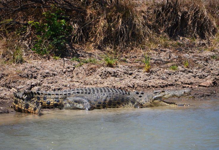 Sósvízi krokodil. Mary River, Northern Territory