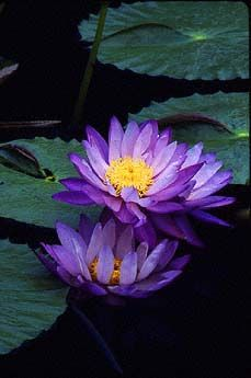 Australian Waterlily (Nymphaea gigantea) tropical water lily
