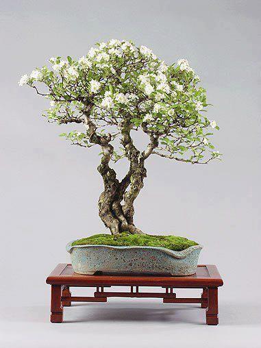 White bonsai