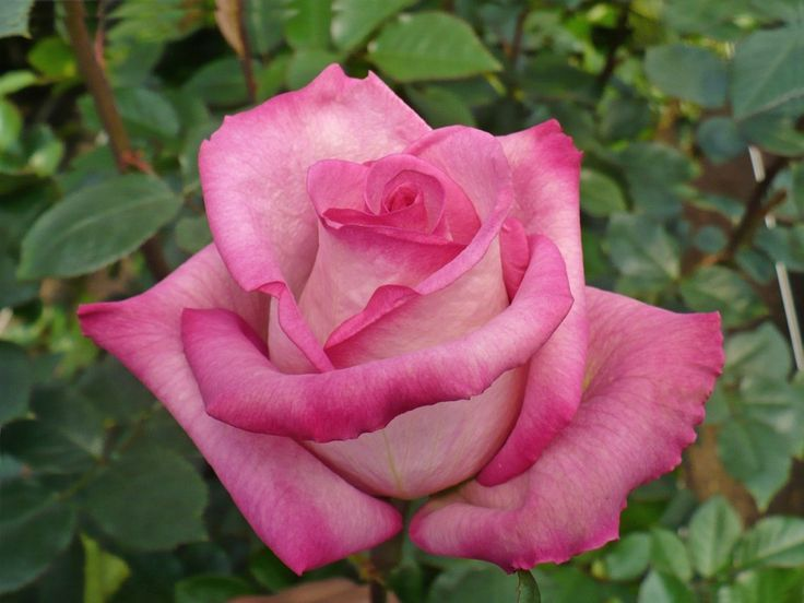 Classic Cezanne is a dusty pink rose with darker edges. It blooms slowly to a medium aperture.