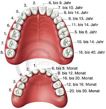 Zahn, Zahnentwicklung der Zähne, Zahnreihen Gebiss eines Erwachsenen und Milchgebiss eines Kindes