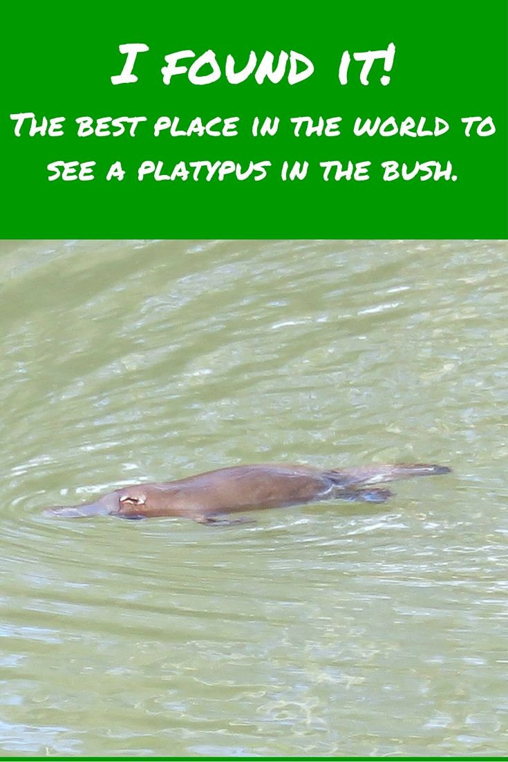 Tidbinbilla Nature Reserve - the best place in the world to see a platypus in the bush.