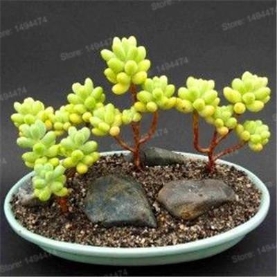 Mixed color succulent plant seeds meaty plant Flower seeds home decoration bonsai plant seeds 200pcs for home garden