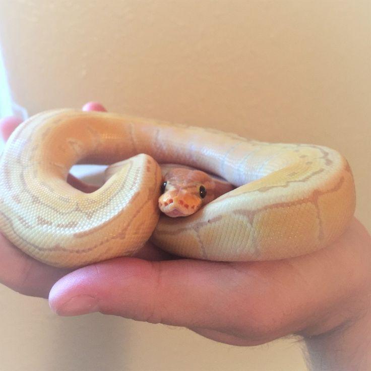 cinnamon roll /// snake snek noodles boop the snoot ball python royal python banana pinstripe