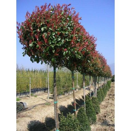 PHOTINIA fraseri RED ROBIN (Photinia Red Robin)