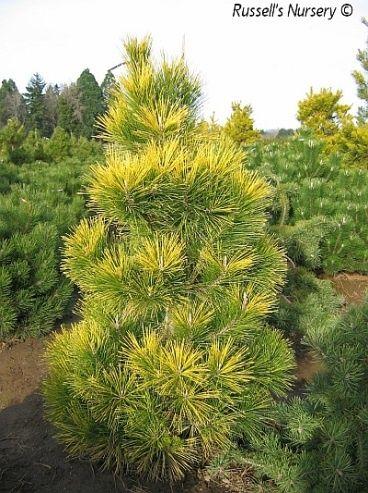 Pinus thunbergii Ogon