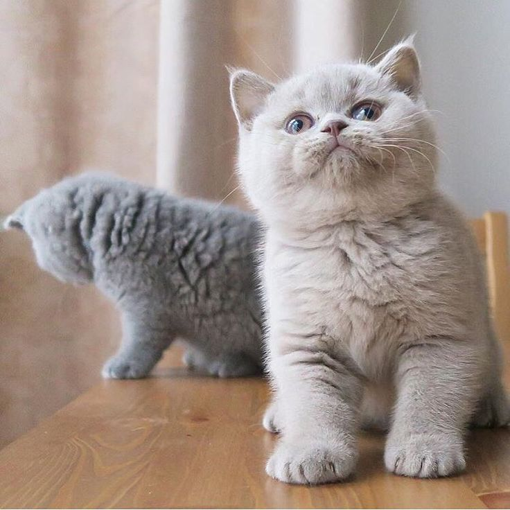 1,813 vind-ik-leuks, 27 reacties - BSH Cats Care (@_britishshorthaircats_) op Instagram: 'It's SIDEKICK FRIDAY!! ⠀ BSH Love We SHARE 'Cause We CARE ❤️⠀ Our love goes out to…'