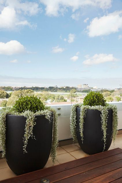 Balcony Garden -- Buxus balls -- Everyone's favourite formal hedging plant, Buxus microphylla, also works fantastic on balconies when shaped into spheres to create what's commonly known as buxus balls.
