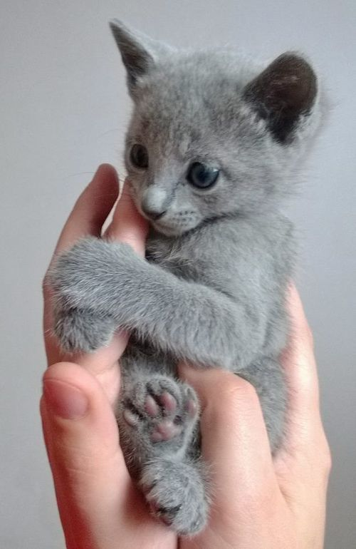 A Russian Blue kitten. I would love to find a male one and name him Bip for his bluish tint and sweet demeanor. ❤️