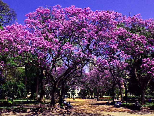 jacarandaes en Buenos Aires