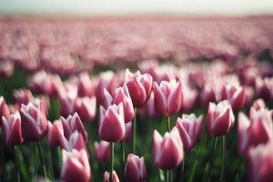 Nature Pink Tulips Flowers Spring HD Wallpaper