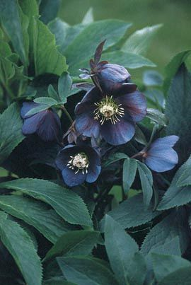 Helleborus 'metallic blue lady strain' - stunningly elegant