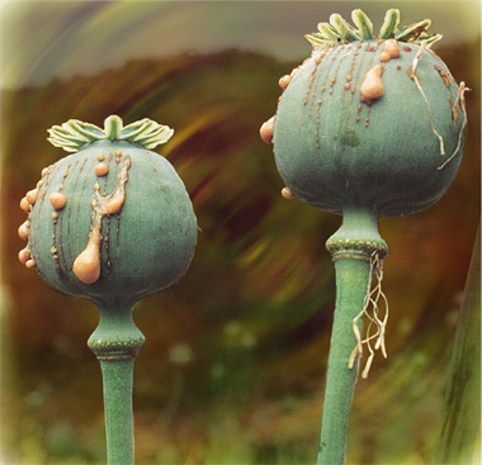 how to make morphine from poppy plant
