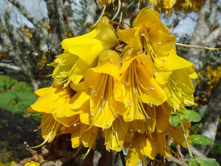 Sophora microphylla, Kowhai