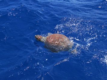 Turtle spotting while sailing around the Cyclades