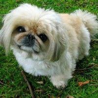 #dogalize Razze cani: il cane Pechinese carattere e prezzo #dogs #cats #pets