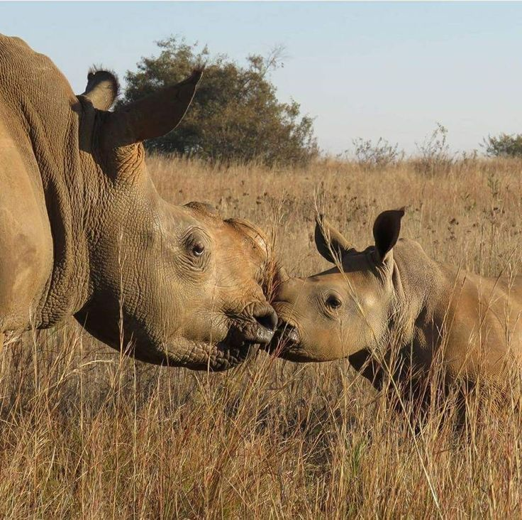 Rhinoceros & baby giving mom a kiss nothing better