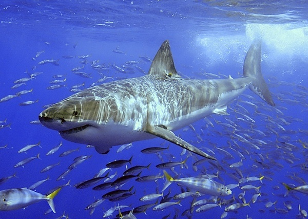 Lovely Shark