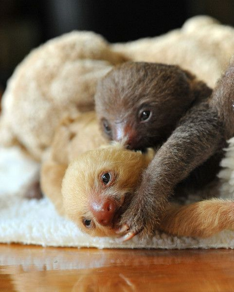 Baby sloths!... The cuteness. Look for #meetthesloths on #animalplanet from November!