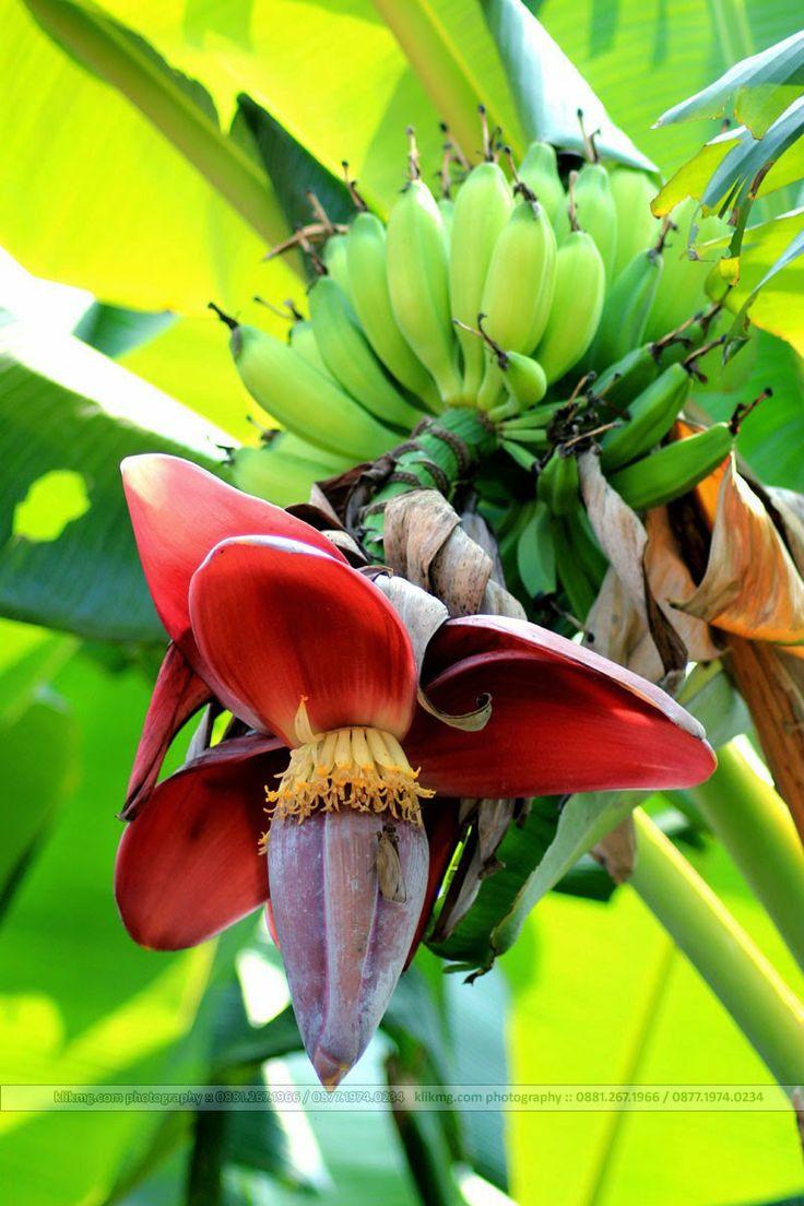 Jantung Buah Pohon Pisang | fotografer : klikmg fotografi - fotografer indonesia / fotografer banyumas / fotografer purwokerto