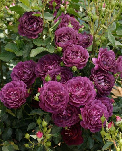 JP: Outta the Blue™ - Fresh Magenta Blend Yellow Blue-lavender Shrub Roses