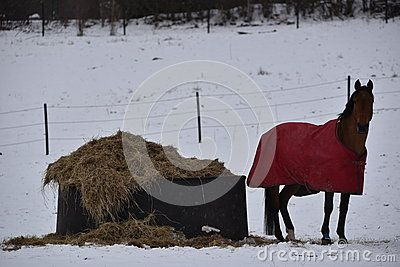 Winter time in a swedish farm, Kolmarden area, Ostergotland region, view over a horse dressing a red cloak on s snow covered field