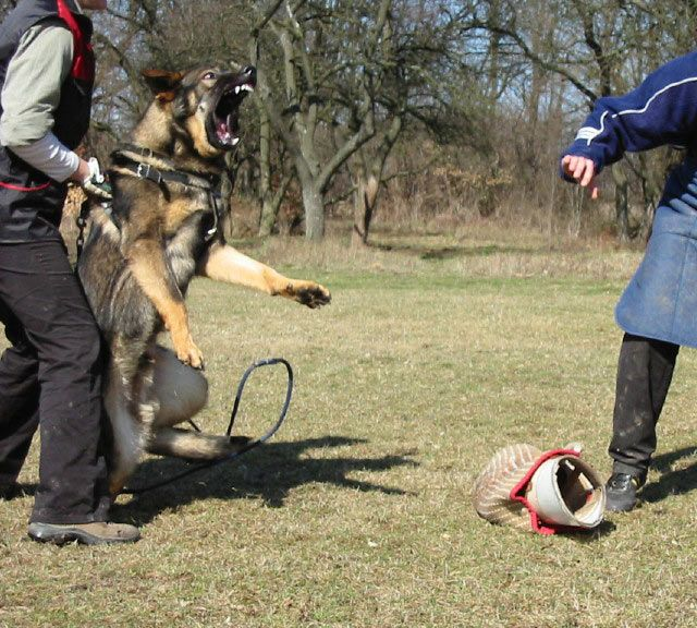 images-ofGermanshepherd-protectiondogs - Google Search
