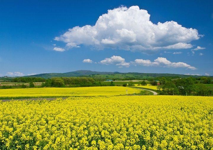 北の大地が黄色に染まる。「たきかわ菜の花まつり」   北海道Likers