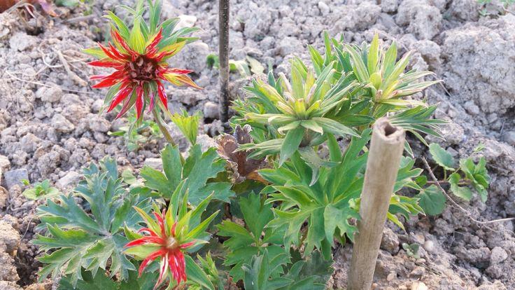 Anemone fulgens 'Multipetala'