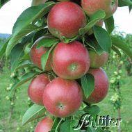 """Der Säulenapfel """"Redcats"""", der sich auf Grund seiner hohen Resistenz gegen die häufigsten Apfelkrankheiten ideal für den Bioanbau eignet, ist ein robuster und schwach wachsender Apfel, der besonders gut für kleine Gärten oder in Kübeln verwendet werden kann.  Seine Früchte sind wie die des Galas flächig rot, haben eine Gesamtsäure von 11,5%, festes Fleisch und einen süßen, säurebetonten Geschmack. Als Befruchter eignen sich Obstbäume in der Nähe oder Goldcats, Greencats und Suncats."""
