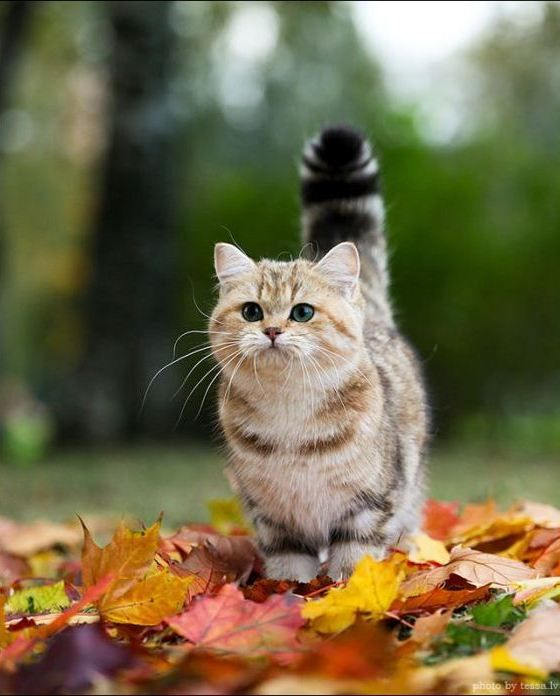 @Wilma McCauley, the cuteness of this cat is beyond comprehension!!  cute british short haired cat