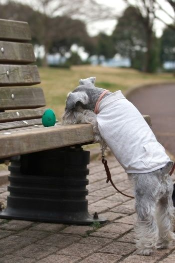 What you want seems out of reach.   These Mini Schnauzers Will Solve All Of Your Problems