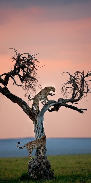Cheetahs in tree. Serengeti National Park, Tanzania.                                                                                                                                                                                 More