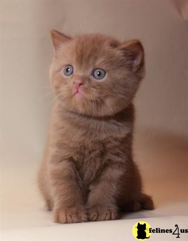 british shorthair cinnamon - Google Search