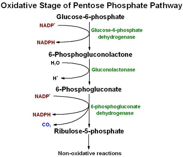 Oxidative reactions of the pentose phosphate pathway--phase 1 reactions (which can happen independently or continue to phase 2 non-oxidative reactions)