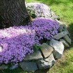 Landscaping Around Trees Phlox and Stones                              …