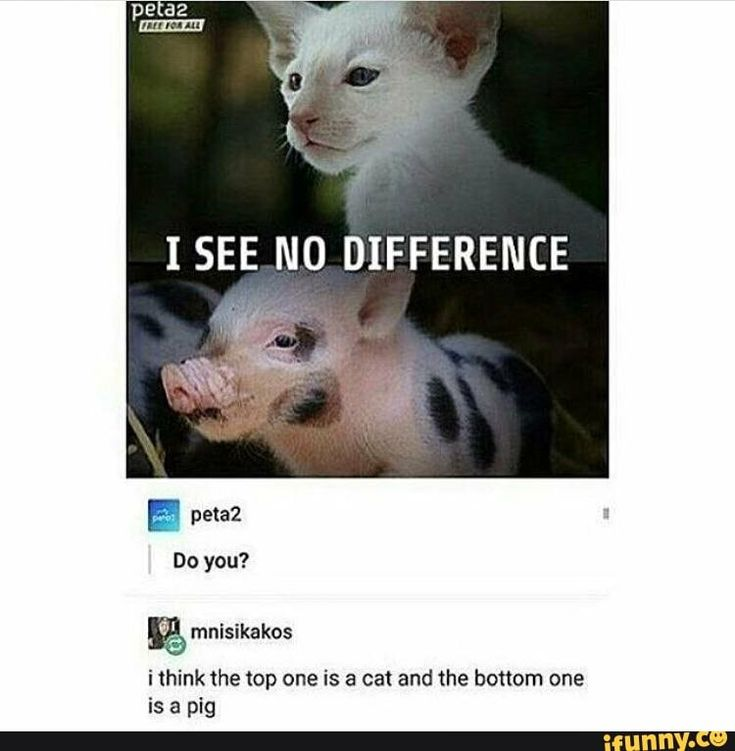 Easy difference: cats are evil beings trying to and succeeding to take over the world. Pigs are normal animals.