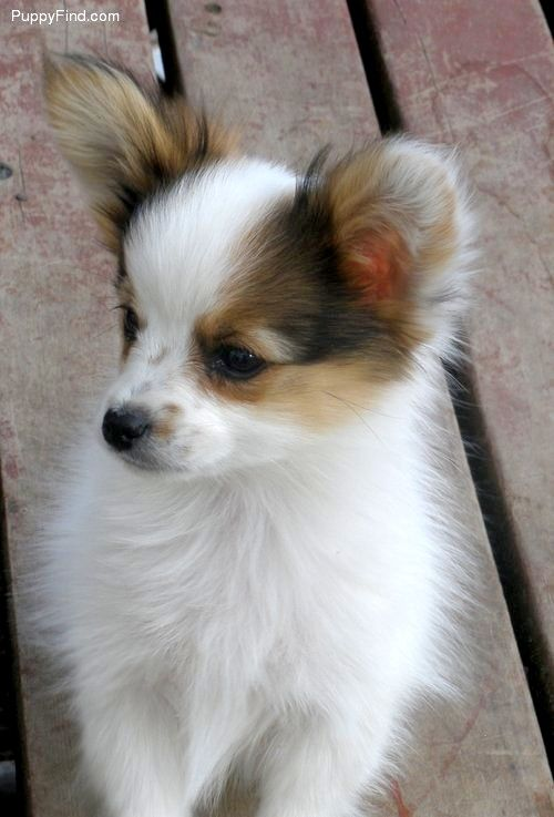 Height: Both male and female papillon dogs reach 8 to 11 inches in height when fully grown, which is about the same size as a Yorkshire terrier.  Weight: An adult papillon won't normally weigh more than 10 pounds.  Coat: The topcoat of a Papillon dog is silky, soft and flowing. They don't have undercoats. They range from lemon or white to red, rich mahogany or chestnut in color. It's not uncommon for a light-colored Papillon to have patches of darker fur.