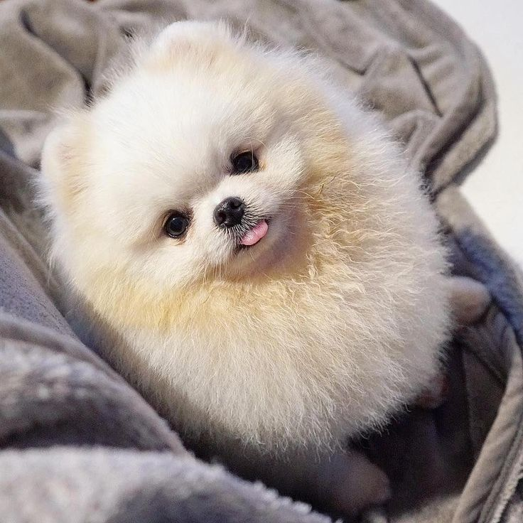 More About Small Pomeranian Dogs Temperament #PomeranianxChihuahua #pomeranianvi… – Too Cute